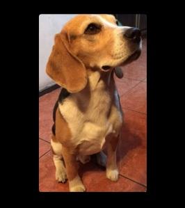 Beagle foto 1