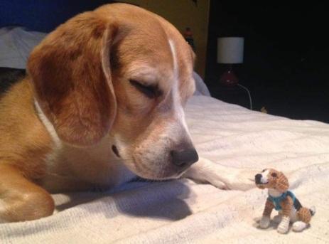 Beagle foto 4
