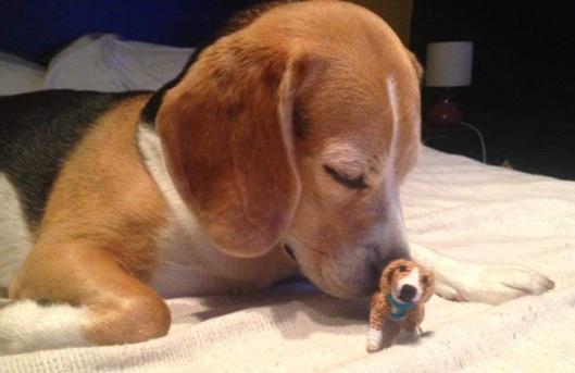Beagle foto 5